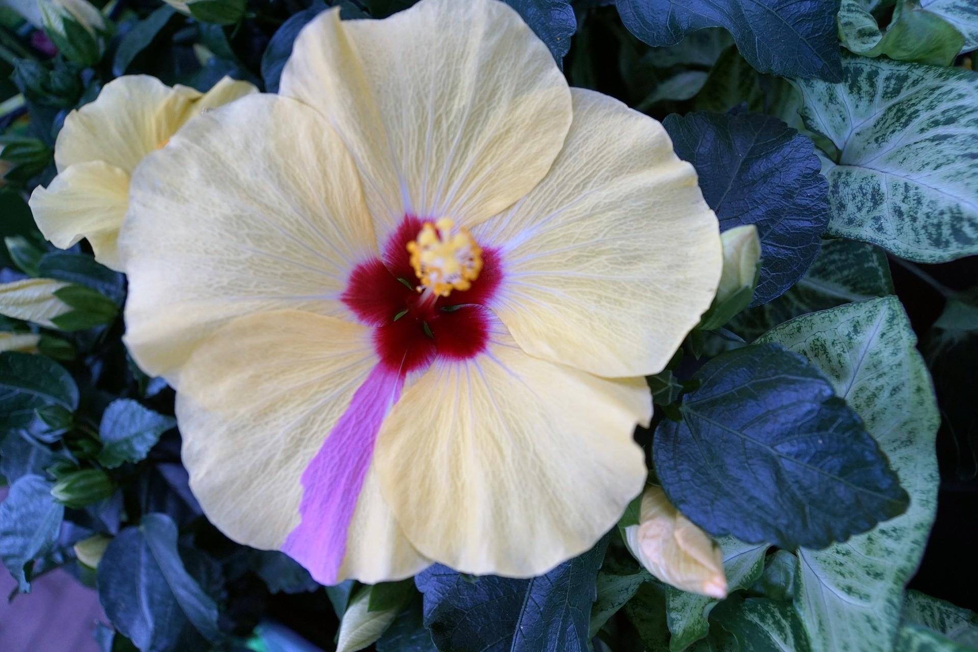 hibiscus-spa-bg